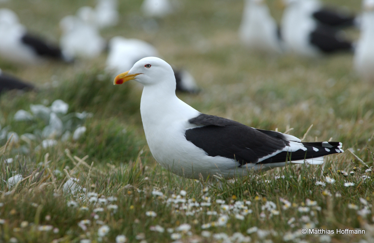 Dominikanermöwe | Southern Black-backed Gull/Kelp (Dominican) Gull | Antarktis | Antarctic