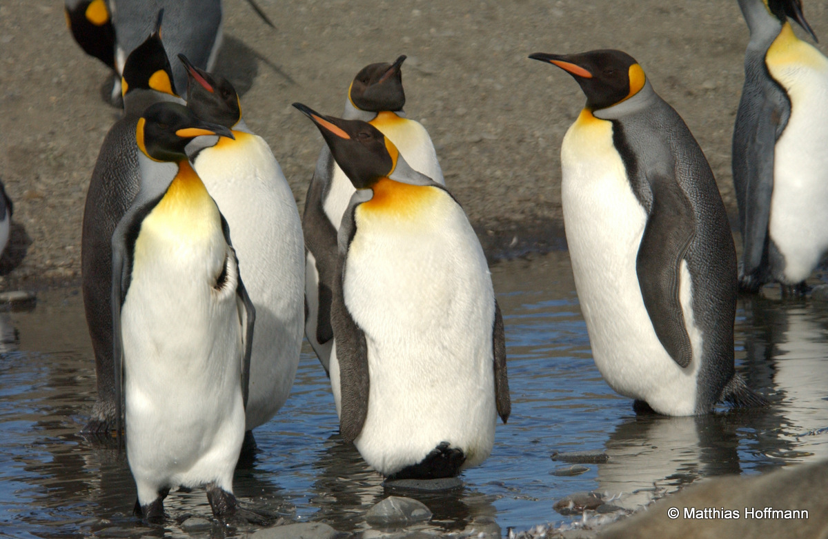 Königspinguin | King Penguin | Antarktis | Antarctic
