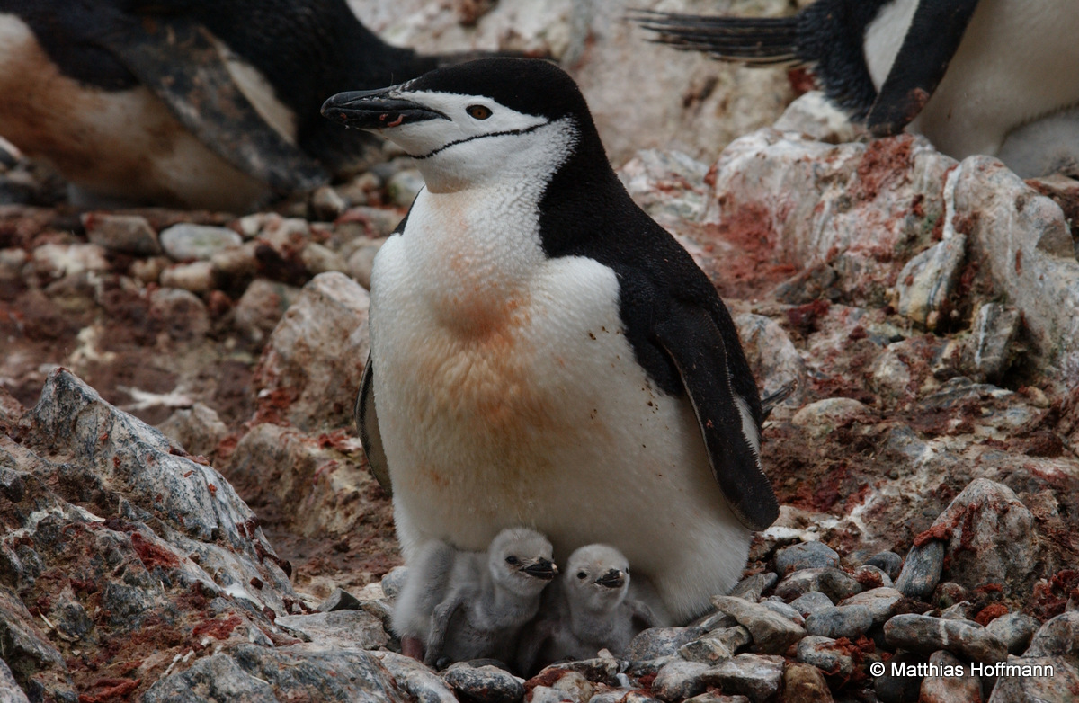 Zügelpinguin | Chinstrap Penguin | Antarktis | Antarctic