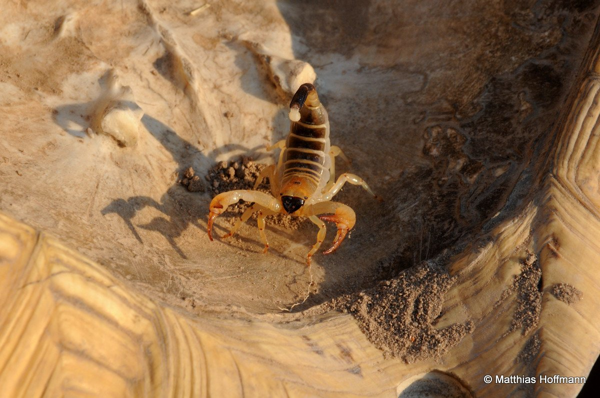 Scorpion | Central Kalahari Game Reserve | Botswana