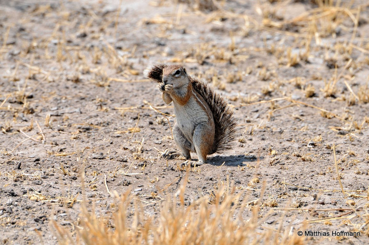 Echte Erdhörnchen | Ground squirrel | Central Kalahari Game Reserve | Botswana