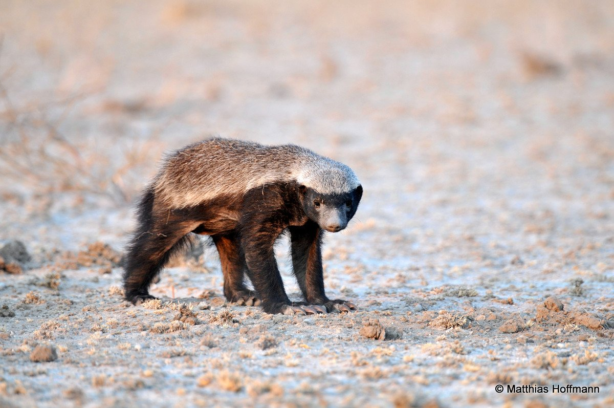 Honigdachs | Honey Badger | Central Kalahari Game Reserve | Botswana