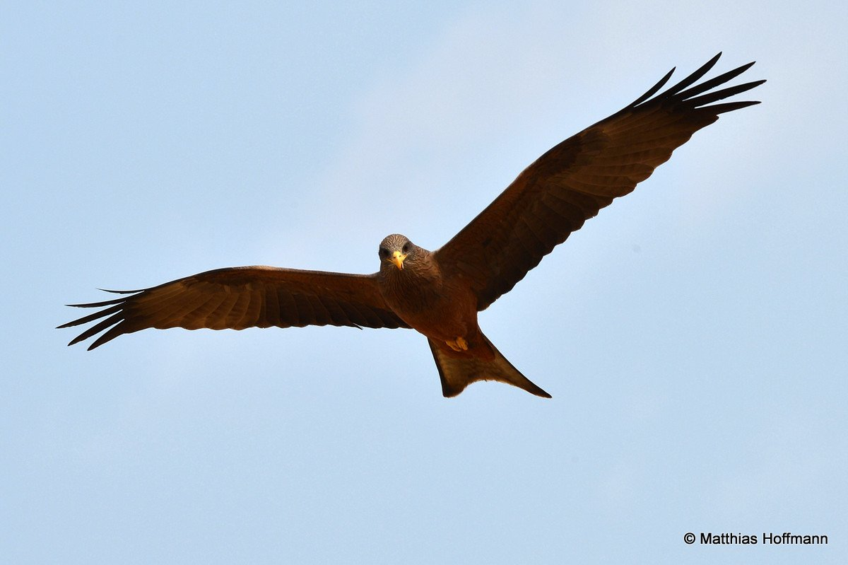 Gelbschnabelmilan  | Yellow-billed Kite | Linyanti | Botswana