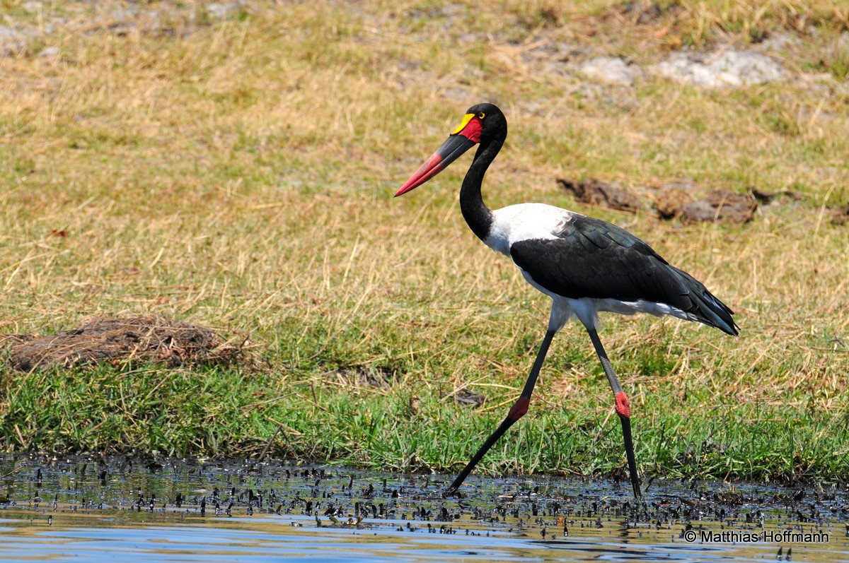 Sattelstorch | Saddle-billed stork | Chobe | Namibia