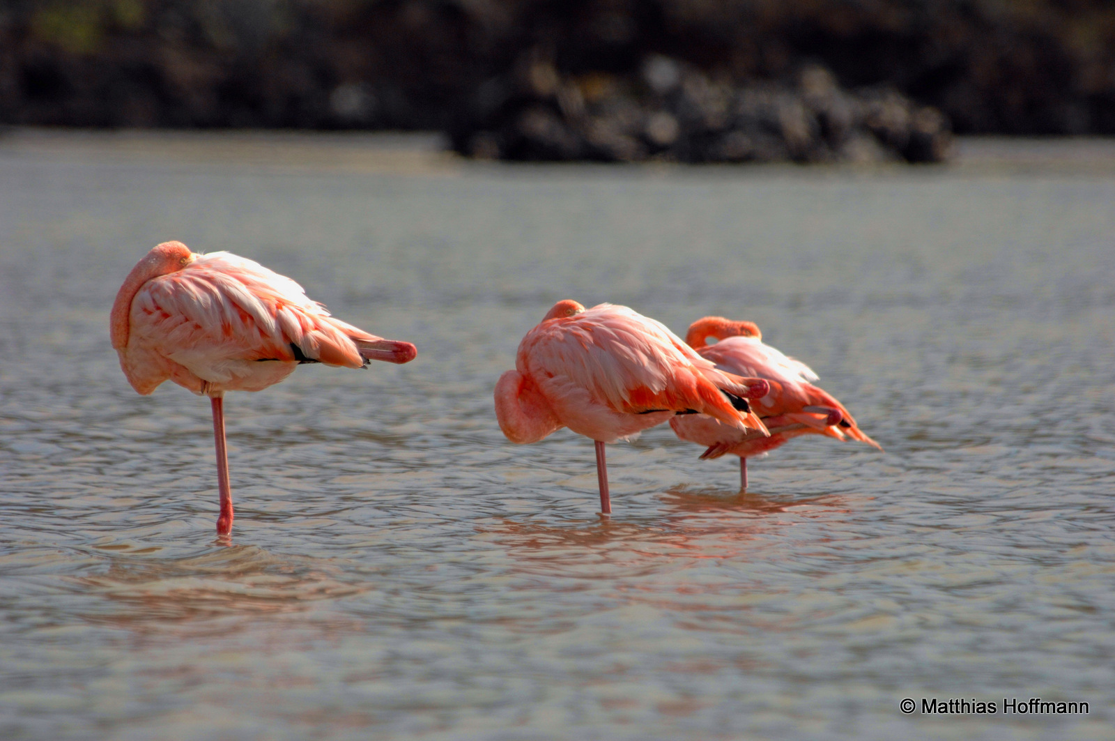 Flamingo | Greater Flamingo | Galapagos