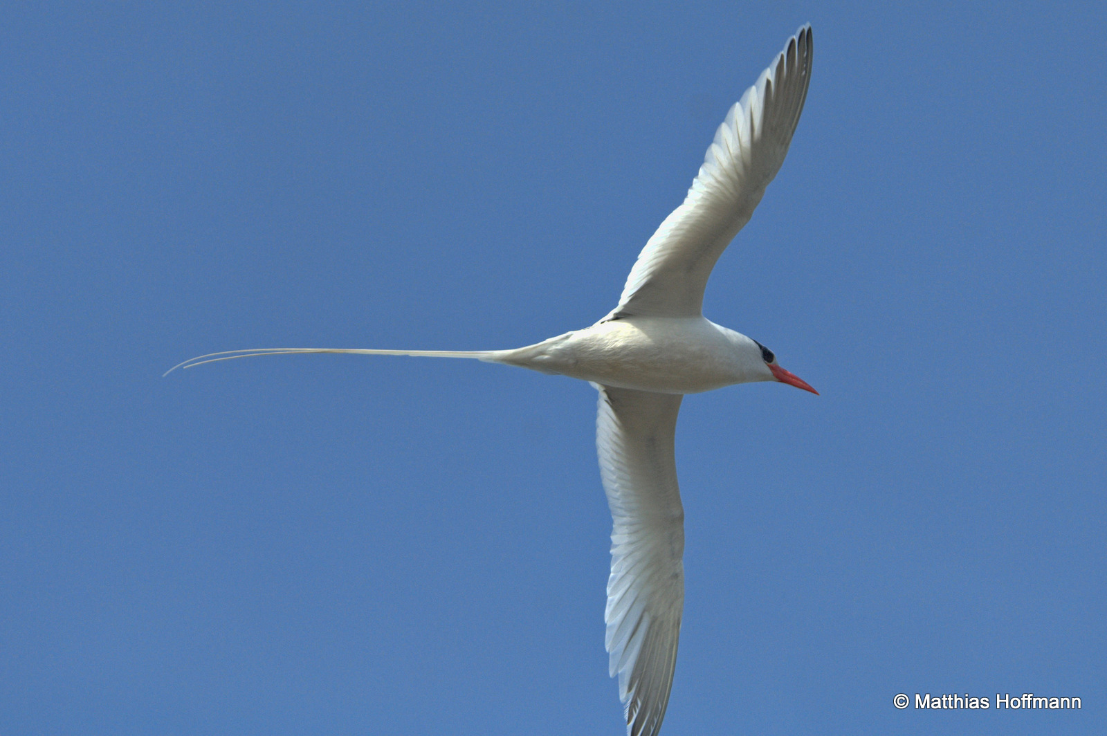 Rotschnabel-Tropikvogel | Red-Billed Tropicbird | Galapagos