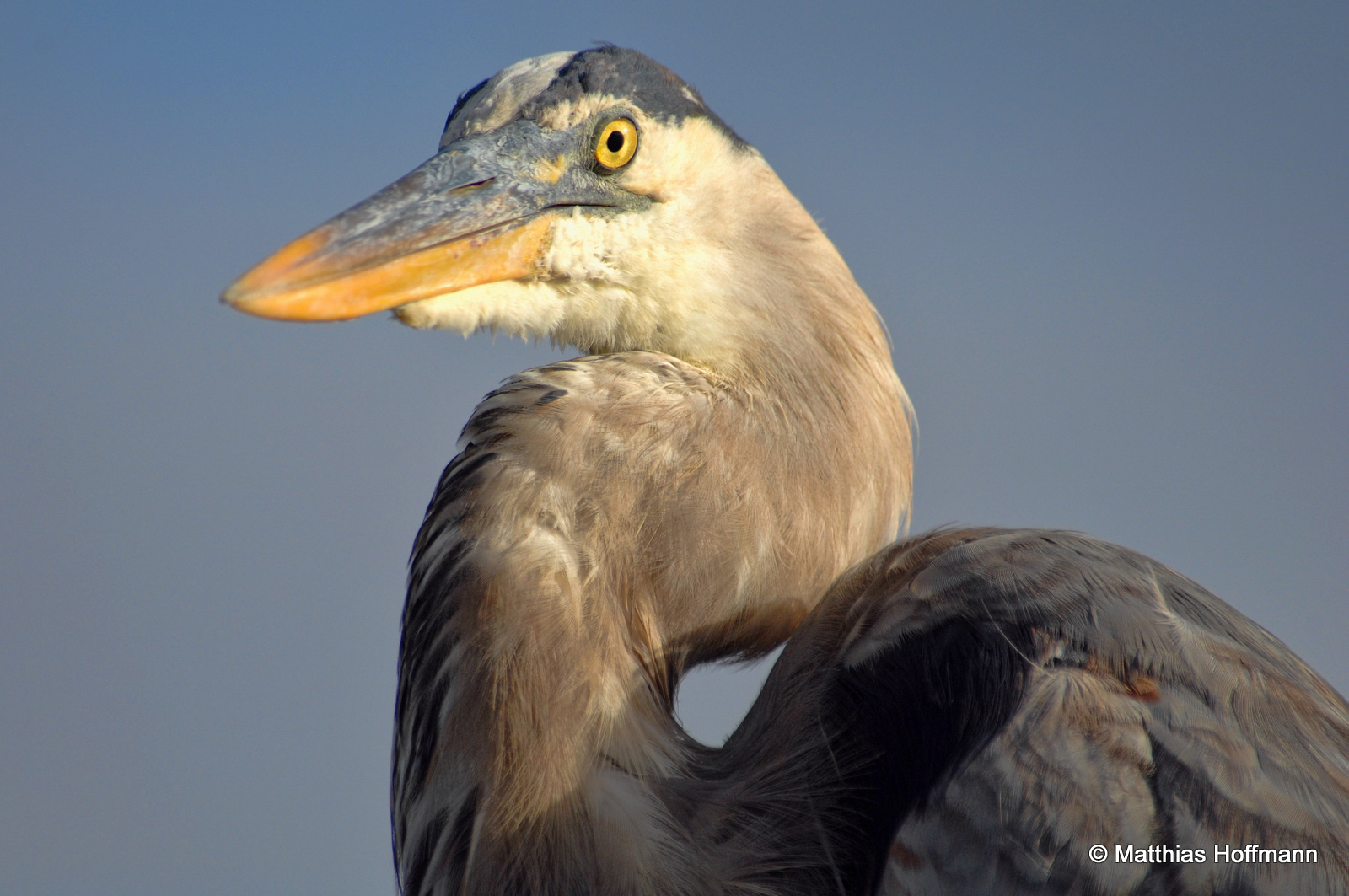 Graureiher | Great Blue Heron | Galapagos