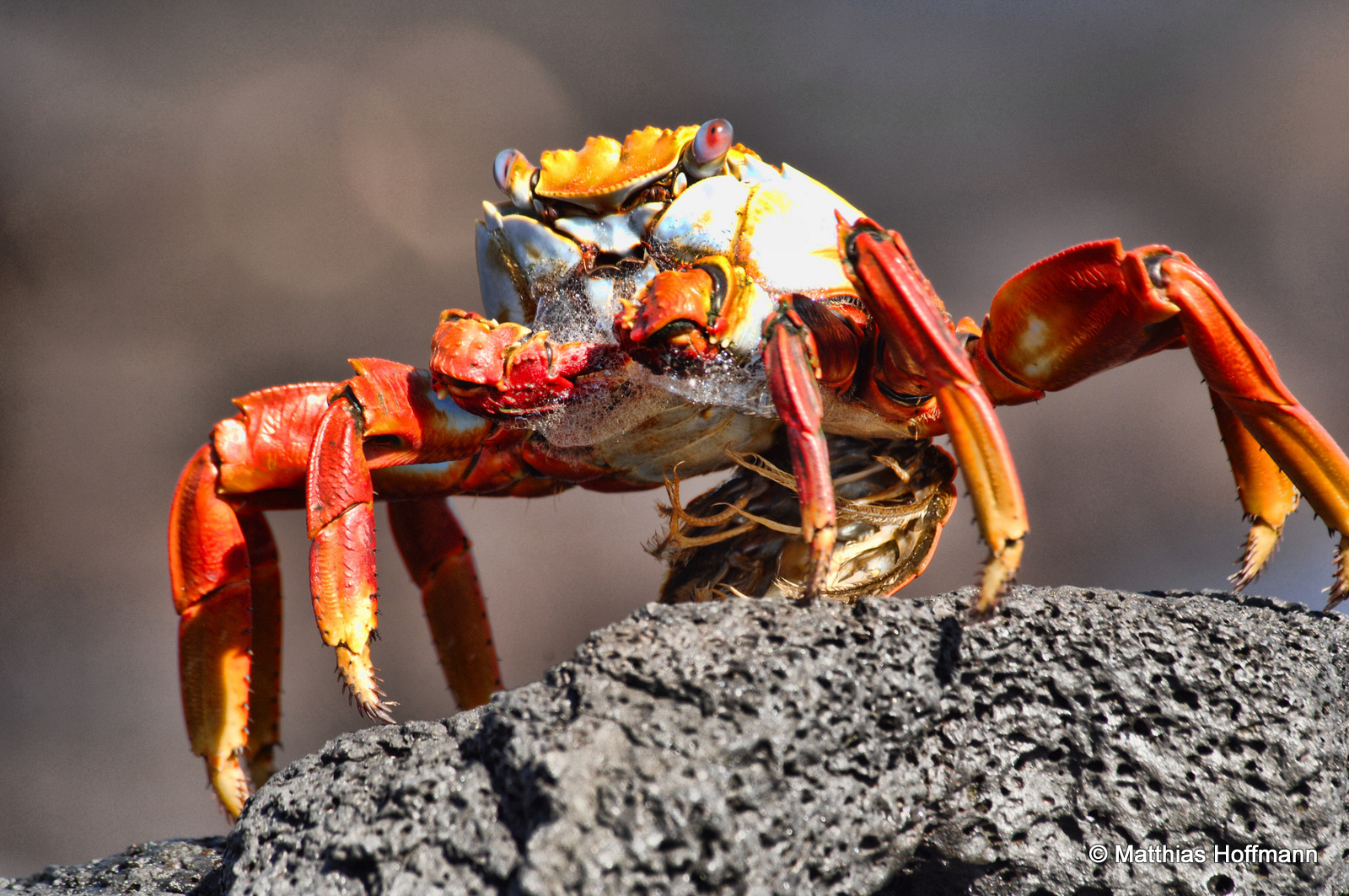 Rote Klippenkrabbe | Sally Lightfoot Crab | Galapagos