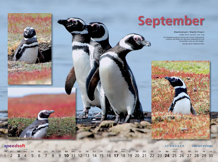 Magellanpinguin | Magellan Penguin - Kalender 2006 - September