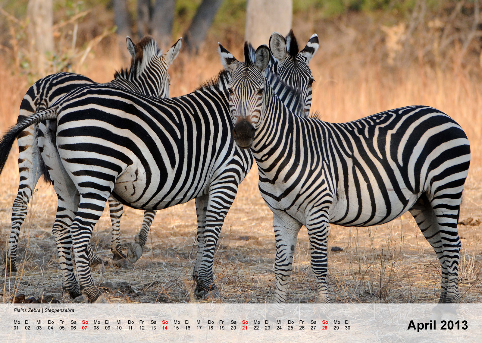 Plains Zebra | Steppenzebra - Kalender 2013 - April
