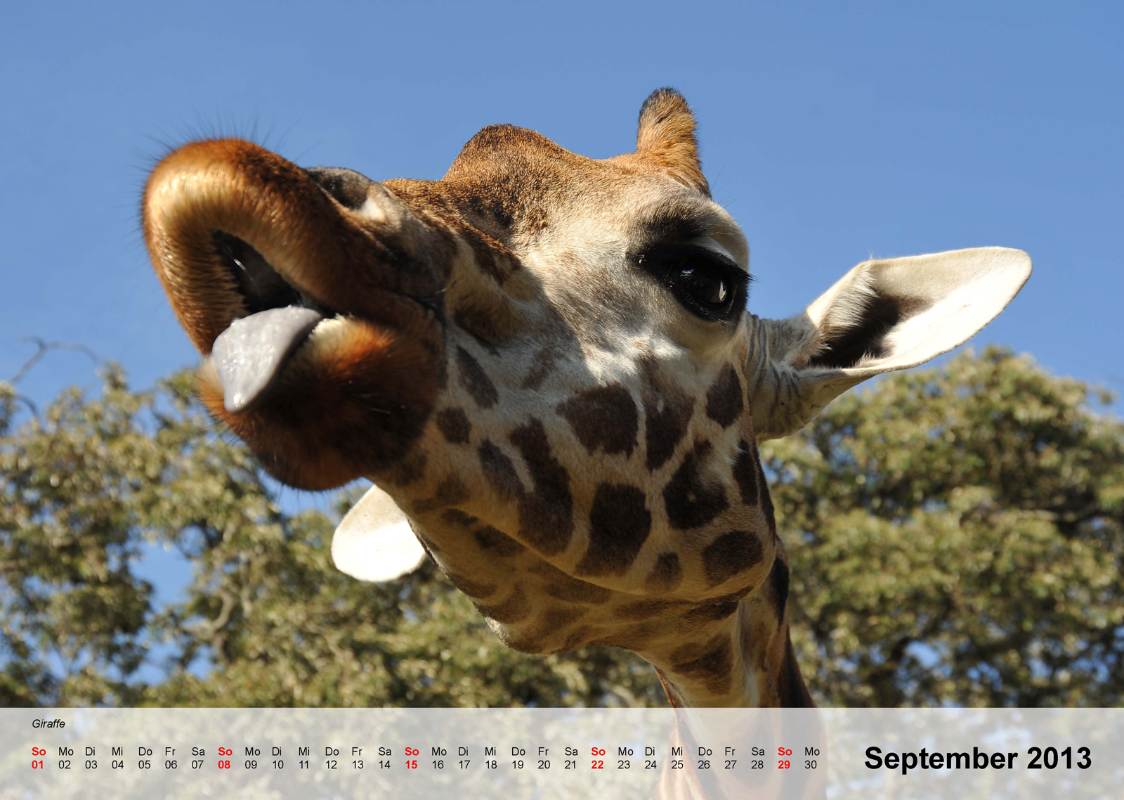 Giraffe - Kalender 2013 - September