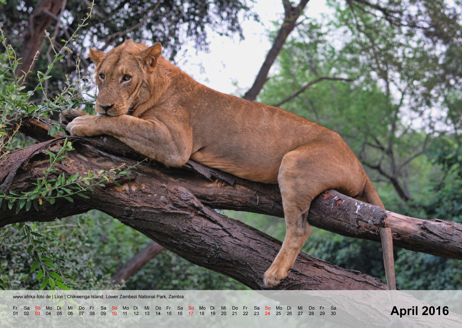Löwe | Lion | Chikwenga Island, Lower Zambezi National Park, Zambia | Kalender 2016 - April