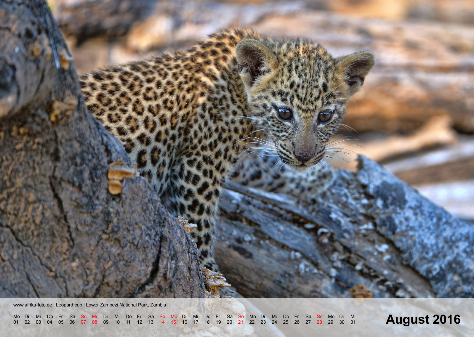 Leopard cub | Lower Zambezi National Park, Zambia | Kalender 2016 - August