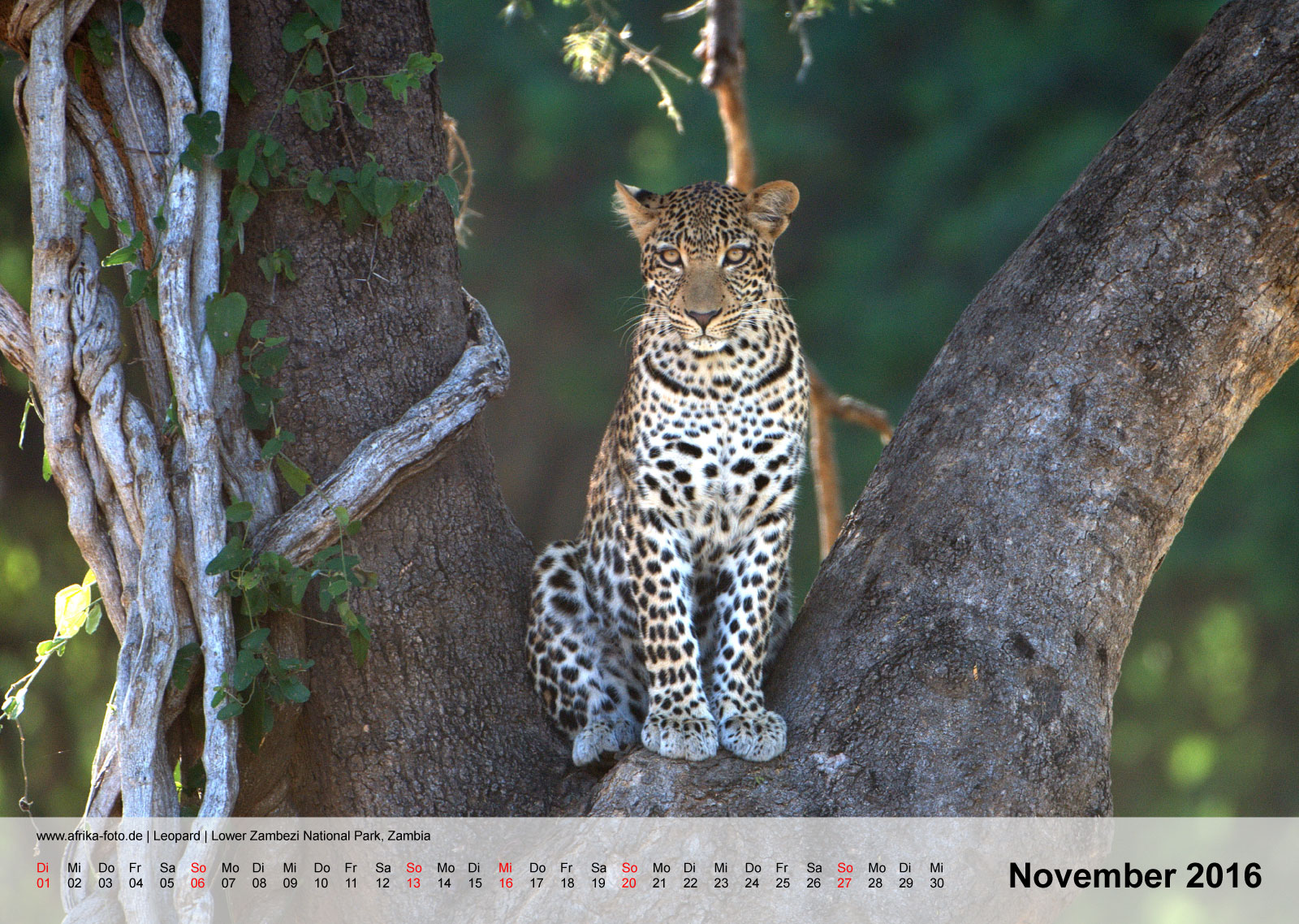 Leopard | Lower Zambezi National Park, Zambia | Kalender 2016 - November