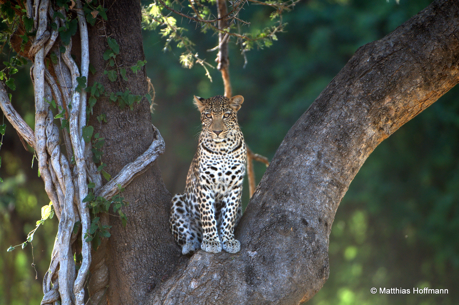 Leopard | Lower Zambezi National Park | Zambia