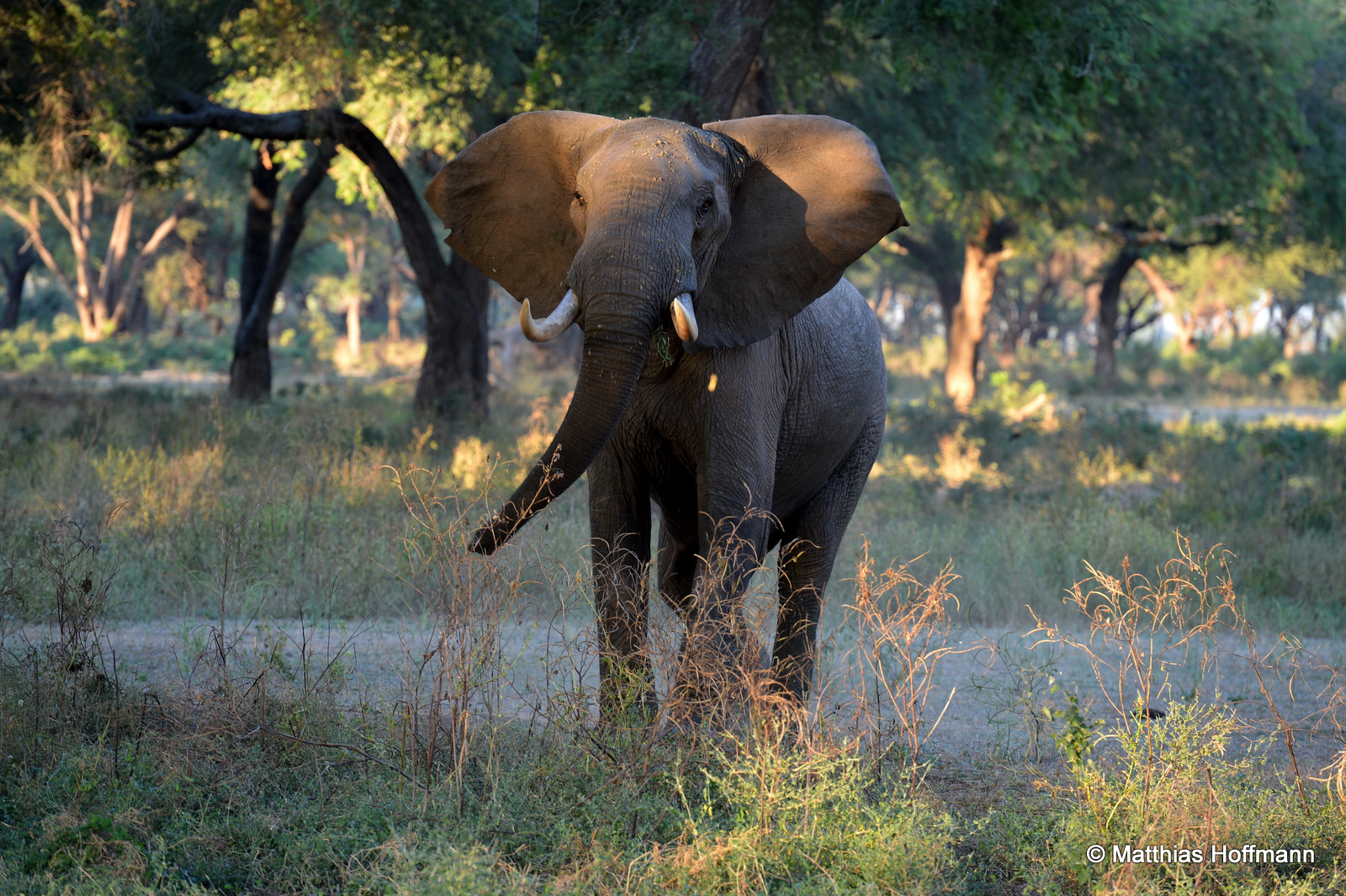 Elefant | Elephant | Lower Zambezi National Park | Zambia
