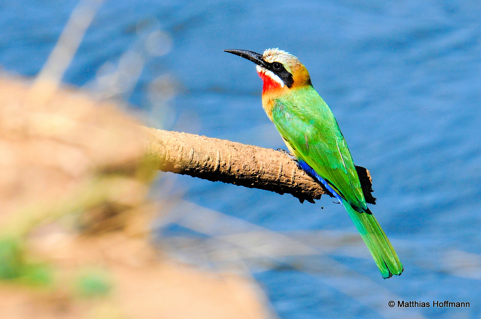 Weißstirnspint | White-fronted Bee-Eater | Lower Zambezi National Park | Zambia