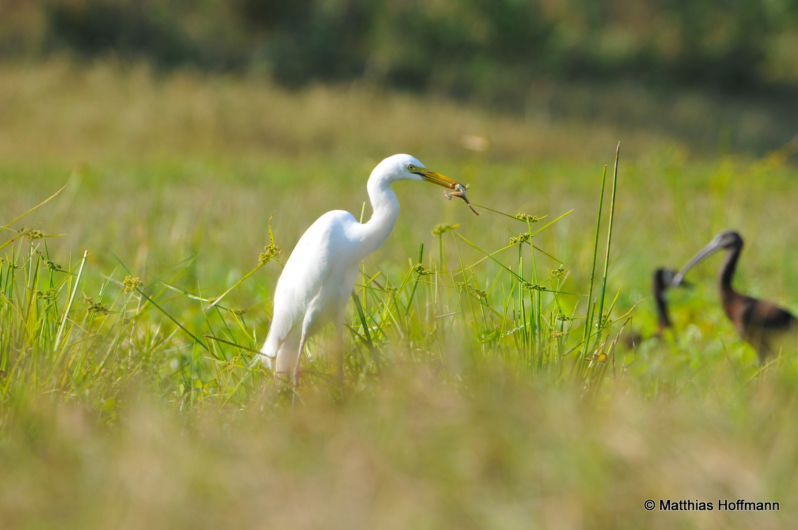 Kuhreiher | Cattle egret | Lower Zambezi National Park | Zambia