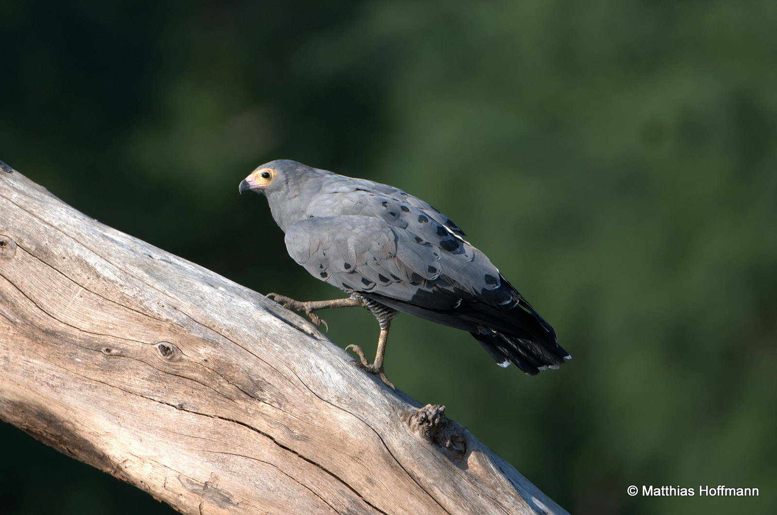 Höhlenweihe | African harrier-hawk | Lower Zambezi National Park | Zambia
