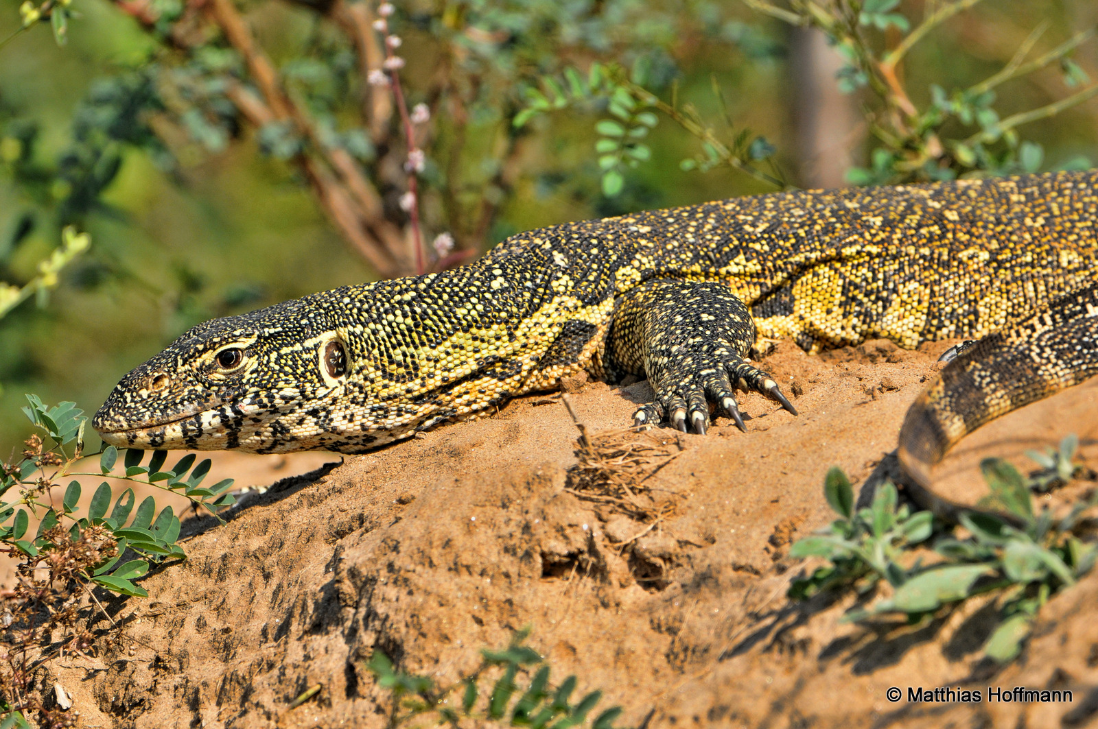Waran | Monitor lizard | Lower Zambezi National Park | Zambia